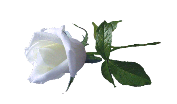 images of animated white roses - photo #37