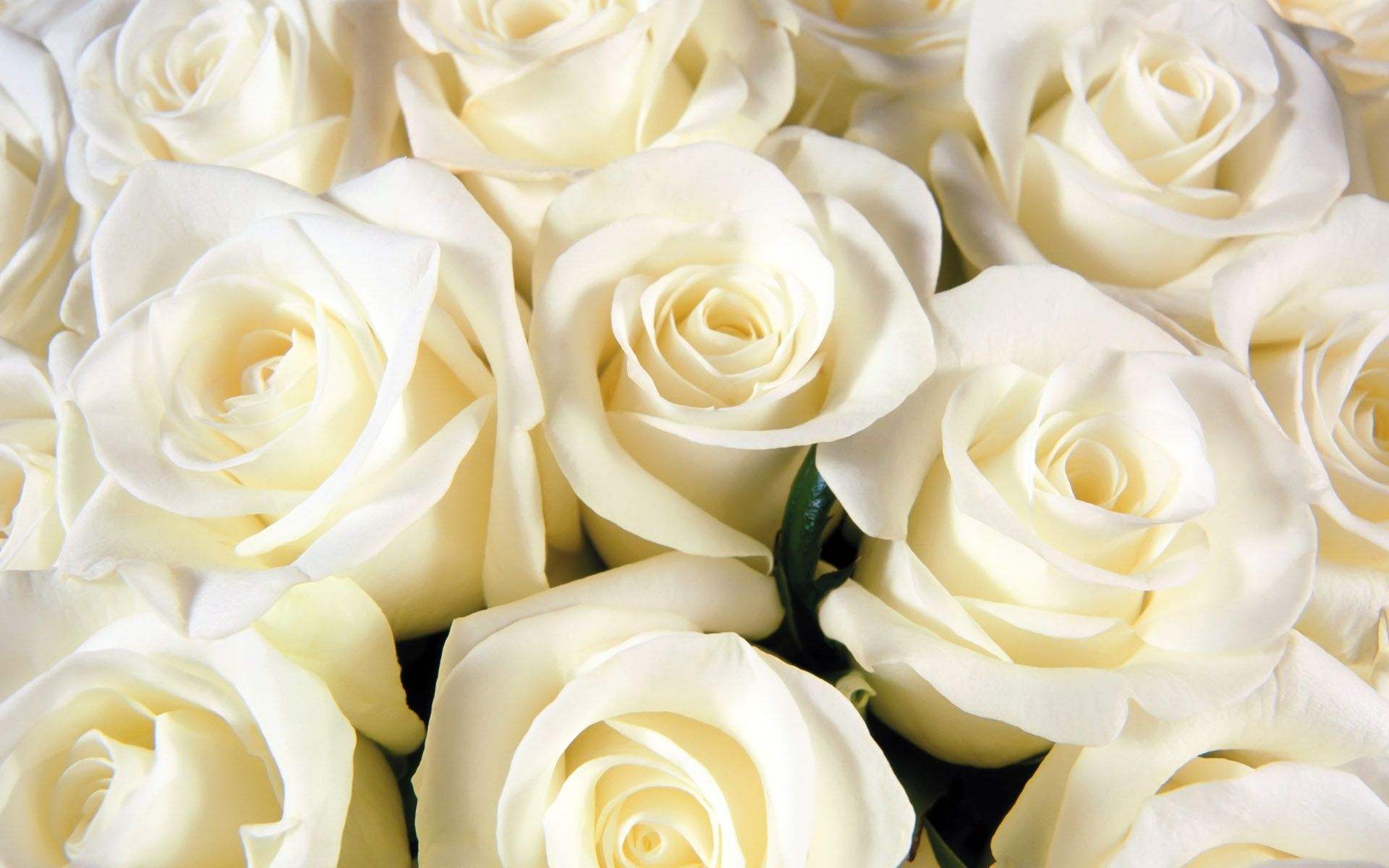 White Rose Flowers Wallpapers: Images Roses Blanches