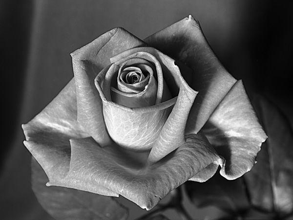images roses noir et blanc. Black Bedroom Furniture Sets. Home Design Ideas